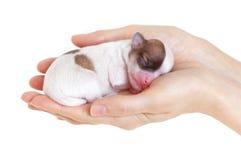 Chiot nouveau-né dans les mains de soin Photos libres de droits