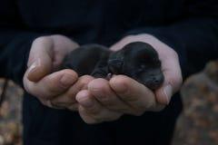 Chiot nouveau-né dans les mains des hommes Petit bébé de chien noir Images libres de droits