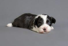 Chiot nouveau-né de Bichon Havenese Photographie stock
