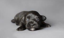 Chiot nouveau-né de Bichon Havenese Photos stock