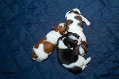 Chiot nouveau-né de chiwawa de chien photographie stock libre de droits