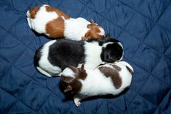 Chiot nouveau-né de chiwawa de chien photos libres de droits