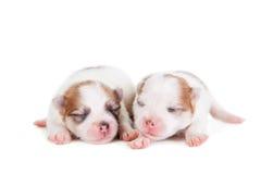 Chiot nouveau-né de sommeil sur le blanc Photos stock