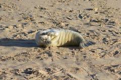 Chiot nouvellement soutenu de Grey Seal aux endroits de reproduction Photos libres de droits