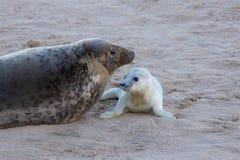 Chiot nouvellement soutenu de Grey Seal avec sa maman Photographie stock libre de droits