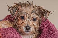 Chiot obtenant sec après son Bath Photos stock