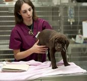 Chiot obtenant ses vaccinations Photographie stock