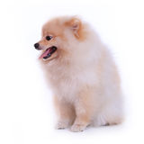 Chiot pomeranian blanc Photo stock
