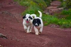 Chiot pur de race de chien de Landseer Photographie stock