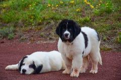 Chiot pur de race de chien de Landseer Images stock