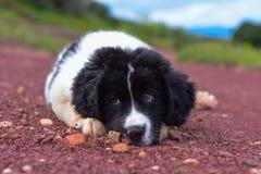 Chiot pur de race de chien de Landseer Image stock