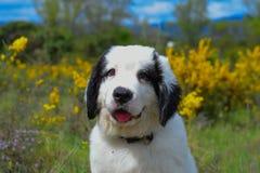 Chiot pur de race de chien de Landseer Photographie stock libre de droits