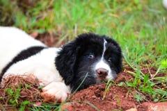 Chiot pur de race de chien de Landseer Image libre de droits
