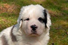 Chiot pyrénéen de mastiff 5 semaines Photographie stock libre de droits