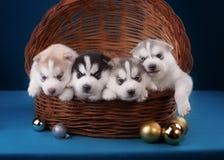 Chiot quatre enroué adorable dans le panier Sur un bleu Photographie stock libre de droits