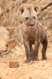 Chiot repéré d'hyène Photo libre de droits