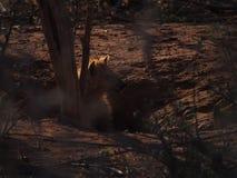 Chiot repéré d'hyène photo stock