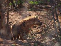 Chiot repéré d'hyène photos stock