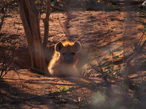 Chiot repéré d'hyène image libre de droits