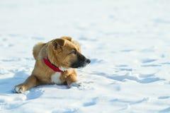 Chiot rouge drôle dans le collet rouge se trouvant sur la neige Photo stock