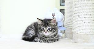 Chiot sibérien de chat, version brune Photos libres de droits