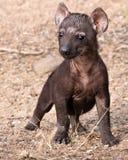 Chiot solitaire d'hyène dans Mantobeni, Afrique du Sud photos stock