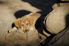 Chiot somnolent au soleil, Leh, Ladakh, Inde Images stock