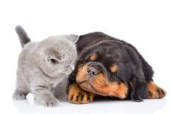 Chiot somnolent de rottweiler et chaton écossais d'isolement sur b blanc Photographie stock