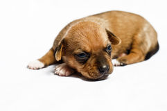 Chiot songeur Photographie stock