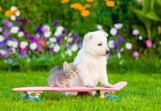 Chiot suisse blanc du ` s de berger et chaton tigré sur la planche à roulettes Photographie stock libre de droits