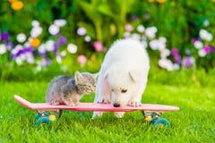 Chiot suisse blanc du ` s de berger et chaton tigré sur la planche à roulettes Photo stock