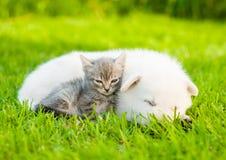 Chiot suisse blanc du ` s de berger et petit chaton dormant ensemble Photo stock