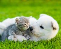 Chiot suisse blanc du ` s de berger jouant avec le chaton minuscule sur l'herbe verte Photos libres de droits