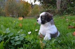 Chiot sur l'herbe Image libre de droits