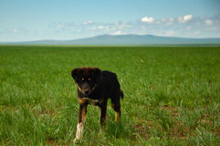 Chiot de prairies Photo stock