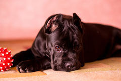 Chiot timide mignon Photo stock