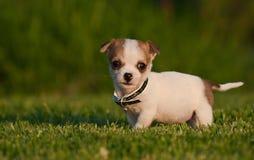 Chiot très mignon sur une pelouse manicured Images stock