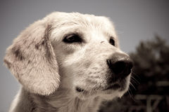 Chiot triste Photo stock