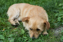 Chiot triste Images stock