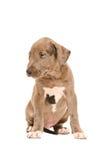 Chiot triste de pitbull Image libre de droits