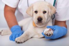 Chiot vigilant mignon au docteur vétérinaire après l'obtention d'une PA photographie stock