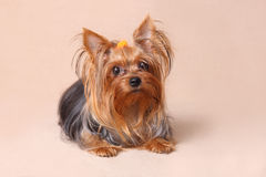 Chiot Yorkshire Terrier sur un fond beige Photo libre de droits