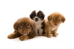 Chiots Photos stock