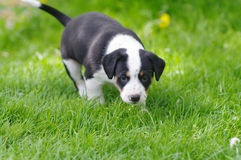 Chiots images stock