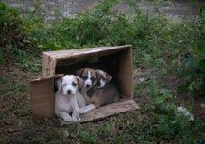 Chiots abandonnés dans une boîte en carton Photographie stock