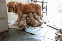 Chiots beiges nouveau-nés de golden retriever images libres de droits