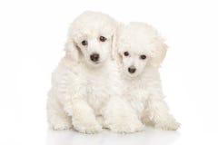 Chiots blancs de caniche photo stock