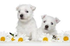 Chiots blancs de chien terrier dans les marguerites photos libres de droits