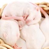 Chiots blancs de souris dans un emboîtement Images libres de droits