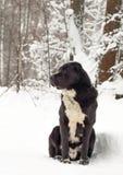Chiots caucasiens de Dog de berger jouant la neige Photographie stock libre de droits